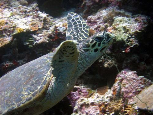 Tortuga marina Palau