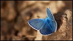 zafiro - macro quality blue butterfly bokehsonice spain azul castillalamancha lamancha mancha españa mariposa