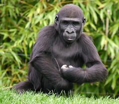 [フリー画像] [動物写真] [哺乳類] [猿/サル] [ゴリラ]       [フリー素材]