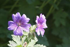 Wild Thing (*ian*) Tags: wild flower tag3 taggedout tag2 tag1 favourite geranium cranesbill lovephotography bigemrg