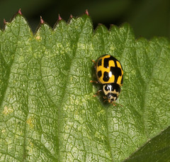"Fourteen Spot Ladybird (propylea 14 punctata) • <a style=""font-size:0.8em;"" href=""http://www.flickr.com/photos/57024565@N00/168272172/"" target=""_blank"">View on Flickr</a>"