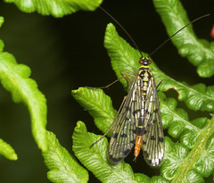 "A female scorpion fly (Panorpa germanica) • <a style=""font-size:0.8em;"" href=""http://www.flickr.com/photos/57024565@N00/176265422/"" target=""_blank"">View on Flickr</a>"