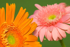 The Twins (shashchatter) Tags: pink orange macro beautiful nikond70 twin gerbera daisy introvert tamron90mm extrovert tamron90 i436 explore29jun06