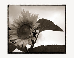 sunflower-elegy [07] (elfis gallery) Tags: life flowers summer blackandwhite bw plants white plant black flower love nature monochrome sepia death grey flora time decay vanity philosophy sunflowers morbid sunflower melancholy schwarzweiss weiss schwarz sonnenblume elegy todolist vanishingbeauty summerends scharzweiss graustufen photophilosophy schwarzundweiss bilderfantasien elegical sunflowerelegy