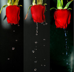 EsKooT El KaLaaM .. ( .. Moush .. ) Tags: red roses rose nikon redrose crying redroses redblack