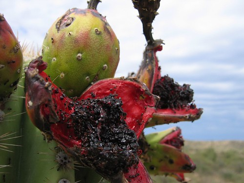 saguaro fruits