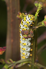 """Mullein Moth Caterpillar (shargacucul(2) • <a style=""""font-size:0.8em;"""" href=""""http://www.flickr.com/photos/57024565@N00/183926596/"""" target=""""_blank"""">View on Flickr</a>"""