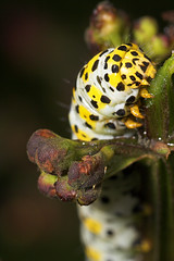 """Mullein Moth Caterpillar (shargacucullia verbasci) • <a style=""""font-size:0.8em;"""" href=""""http://www.flickr.com/photos/57024565@N00/183926763/"""" target=""""_blank"""">View on Flickr</a>"""