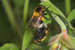 """Mating Hoverfly (Volucella zonaria)(1) • <a style=""""font-size:0.8em;"""" href=""""http://www.flickr.com/photos/57024565@N00/183986216/"""" target=""""_blank"""">View on Flickr</a>"""