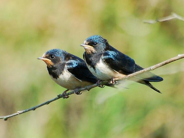 Andorinhas juvenis /  Barn Swallow juveniles