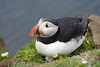 Puffin I (HelenPalsson) Tags: birds iceland puffin puffins westfjords arctica fratercula atlanticpuffin fraterculaarctica auk 20050705 látrabjarg