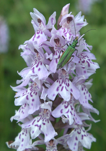 Beetle on Orchid