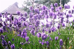 Lavender house (Vratsagirl) Tags: flowers ireland summer house green garden purple lavender gardentreasures vratsagirl