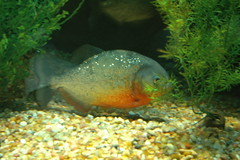 seattle fish zoo woodlandparkzoo piranha woodlandpark
