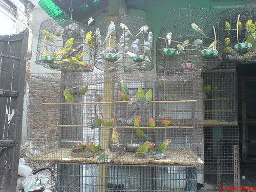 Parrots in cages