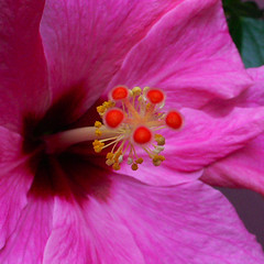 Hibiscus close-up - by dr. motte