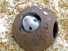 hamster going (coco)nuts