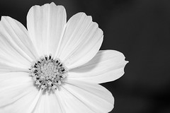 tao of flora (Oliver Lavery) Tags: bw white black flower closeup 85points mireasrealm