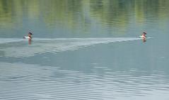 Canvasbacks at Trempealeau National Wildlife Refuge (Jim Frazier) Tags: road trip travel summer vacation lake reflection bird nature water beautiful birds animal animals june fauna wisconsin reflections duck pond wake natural ducks peaceful roadtrip 2006 pensive marsh q3 nationalwildliferefuge nwr canvasbacks canvasback trempealeau trempealeaunationalwildliferefuge e060629c trempeauleaunwr jun2006trempeauleaunwr trempeauleau jimfraziercom
