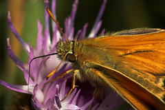 "Small Skipper Butterfly (thymelicus s(2) • <a style=""font-size:0.8em;"" href=""http://www.flickr.com/photos/57024565@N00/193209248/"" target=""_blank"">View on Flickr</a>"