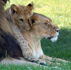 I love you mum! (Patrick Costello) Tags: d50 cub lion explore longleat lioness outstandingshots specanimal animalkingdomelite abigfave