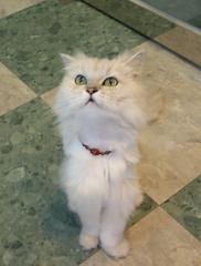 Mimi (jacky elin) Tags: cats cat mimi chinchilla