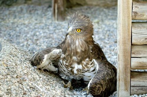 Aguila culebrera - Short-toed Eagle (Circaetus gallicus)