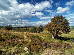 Stone Moor (Roger B.) Tags: sheffield rowan moorland bolsterstone stocksbridge
