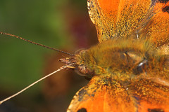 """Coma Butterfly (polygonia c-album)(3) • <a style=""""font-size:0.8em;"""" href=""""http://www.flickr.com/photos/57024565@N00/235897273/"""" target=""""_blank"""">View on Flickr</a>"""