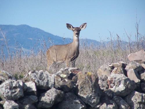 20070120 Deer
