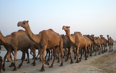 Camel Carravan (Iqbal.Khatri) Tags: blue pakistan brown white big bravo country great crowd culture olympus follow fave camel huge agriculture karachi sindh villageculture abigfave anawesomeshot fe180 superbmasterpiece carravan terrificjam sindhculture platinumheartaward iqbalkhatri unth