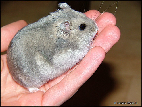 Knibbel is a big fat hamster por jpockele.