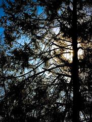 Sun Through Evergreen I (mightyquinninwky) Tags: sky sun sunlight tree leaves backyard lexington ky branches award bluesky evergreen limbs needles invite lateafternoon earlyspring chevychase fayettecounty eclipsed centralkentucky mywinners latewinterearlyspring ashlandparkhistoricdistrict bestofformyspacestation