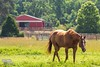 A Horse's Life (The Suss-Man (Mike)) Tags: horse rome animal georgia farm week24 berrycollege floydcounty marthaberrycollege thesussman sonyalphadslra550 sussmanimaging 52in2015 themedownonthefarm