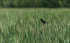 DSC_6221 (Keztik) Tags: canada male bird st real reflex pond nikon  quebec d sigma sherbrooke 200 swamp francois dslr 70 marais 70200 blackbird oiseau redwinged agelaius carouge phoeniceus d3200 marcage paulettes carbonneau