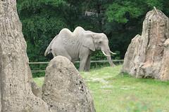 Elefantenkamel ???