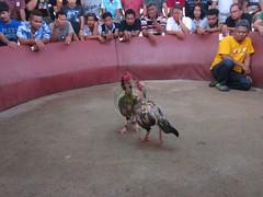 ไก่ชนพม่า จุดเปลี่ยนที่แผล