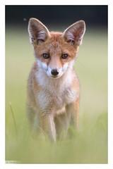 Renard roux (Vulpes vulpes) Red fox 7D Mark II (Denis.R) Tags: france canon 300mm lorraine libre moselle redfox sauvage vulpesvulpes renardeau renard renardroux denisr 7dmarkii denisrebadj