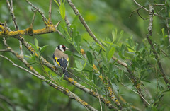 Goldfinch (dawnmccall.tiger) Tags: bird goldfinch northumberland rivercoquet