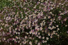 Daisies last summer (Lesley A Butler) Tags: flowers garden australia victoria nutfield 20141108c