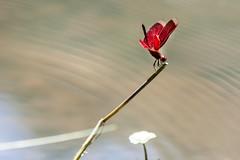 IMG_4844 (Ali shih) Tags: ex canon eos dragonfly sigma os apo  dg  70200mm  hsm  apsc  450d