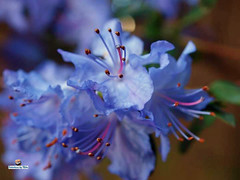 Blue Rhododendron (FotoCheez) Tags: seattle christmas camera city bridge family flowers blue autumn winter friends light red summer test horse music house lake fish flower color building green bird art fall ice beach dogs girl beautiful grass leaves animal animals rock fog architecture clouds barn forest butterfly river garden walking landscape fun boats island happy fire coast amber boat duck washington leaf spring rocks pretty eagle hiking working prism screen hike bugs rhododendron refraction seahawks fotocheez