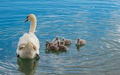 swan's family (01) (Vlado Ferenčić) Tags: bird birds animals swan lakes croatia swans hrvatska jezera nikkor8020028 nikond600 zaprešić swansfamily zajarki lakezajarki jezerozajarki