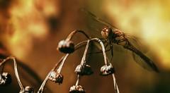 Libelle - Dragonfly (Delbrücker) Tags: macro dragonfly bokeh makro libelle nikkor105mm nikond610