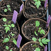 Phacelia bipinnatifida seedlings