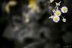 Void I (saeah_lee) Tags: flowers flower macro field daisies outside bokeh outdoor empty korea depthoffield saturation daisy wildflowers void southkorea wildflower depth fleabane chiaksan wonju