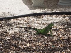 Green iguana (Iguana iguana) (mattheuxphoto) Tags: florida iguana atlanticocean floridakeys keylargo iguanaiguana greeniguana johnpennekamp johnpennekampcoralreefstatepark microfourthirds omdem10