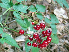 red baneberry berries, Bedrock Gardens, 19 July 2015 (mwms1916) Tags: red berries newhampshire baneberry actaearubra leenh bedrockgardens