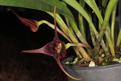 Masdevallia picea 2015-07-29 04 (JVinOZ) Tags: orchid masdevallia orchidspecies
