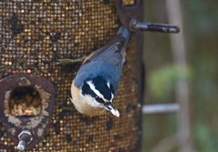 Nuthatch got his seed! (ineedathis,The older I get the more fun I have....) Tags: bird avian redbreastednuthatch sittacanadensis male feeder seeds eating sunflower autumn nature garden nikond750 zoom bokeh